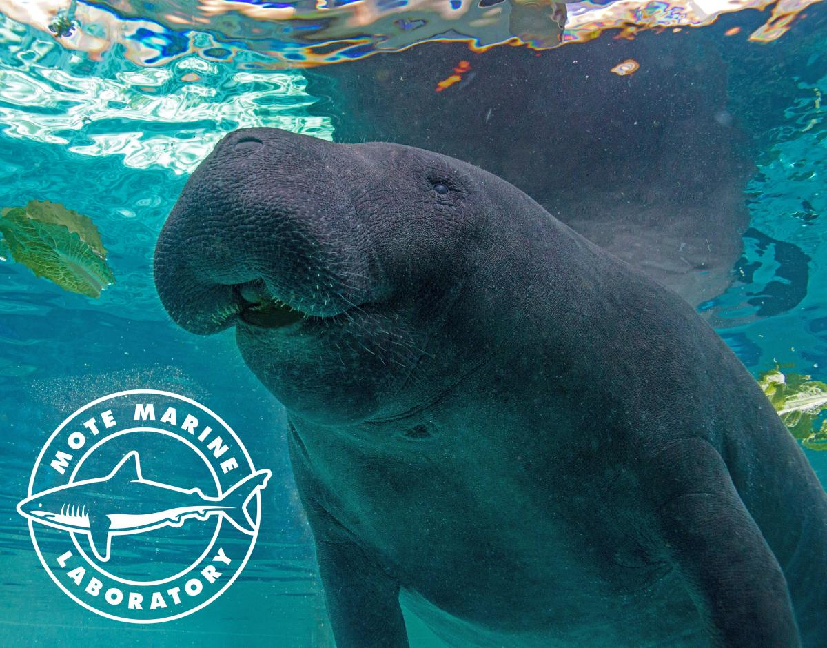 One of Mote Aquarium's resident manatees.