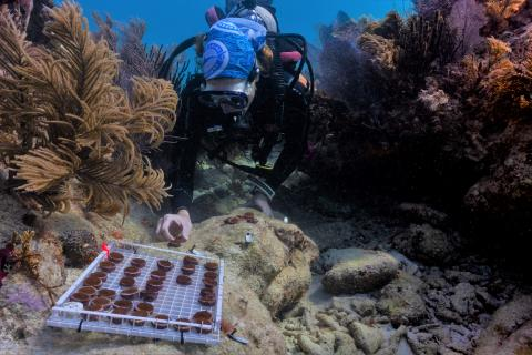 A Mote diver plants Mote-grown coral fragments onto a dead coral head to restore it back to life.